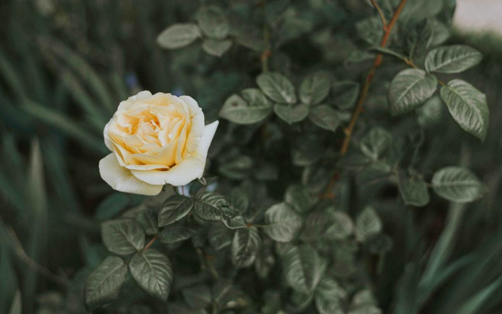 Weiße Rosenblume in einem Garten
