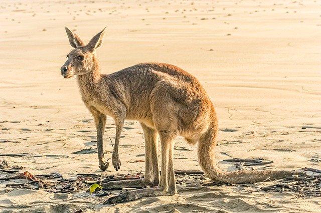 Erwachsenes Rotes Känguru in der australischen Wüste