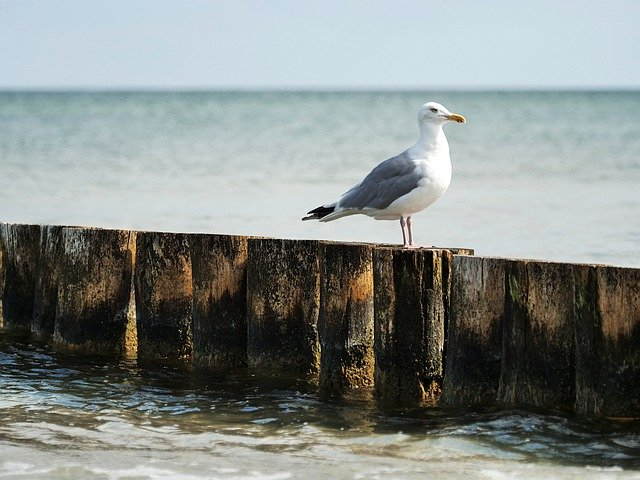 Seagull standing in front of the Ocean